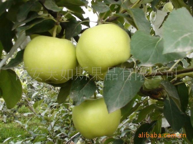 青苹果-酸甜可口 表面光滑 耐储藏