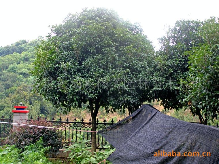【低价批发丹桂】长期优价优质低价直销绿化树苗  4-6公分桂花树
