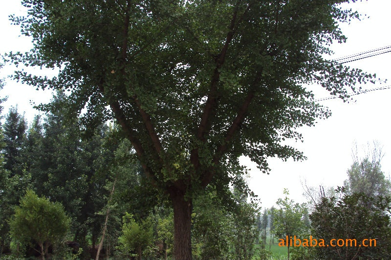 银杏树。及绿化用苗木。苗质量好