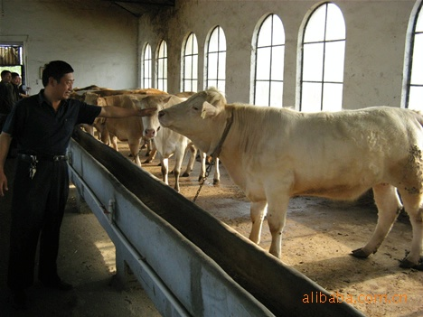 供应优质肉牛 育肥肉牛 肉牛品种 怎样养殖肉牛