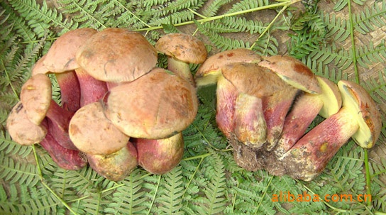 云南特产蘑菇   供应玉龙雪山鲜蘑菇