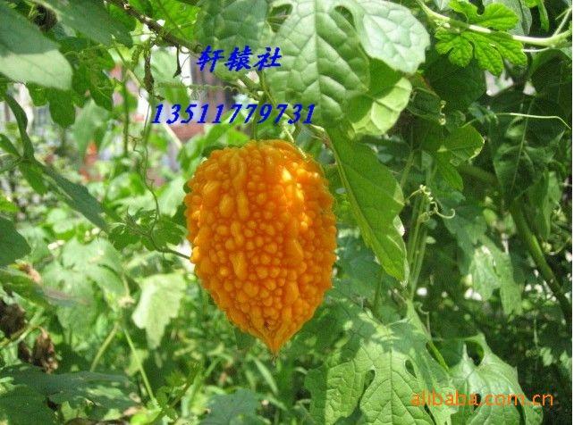 供应优质甜心果 金铃子 赖葡萄  种子