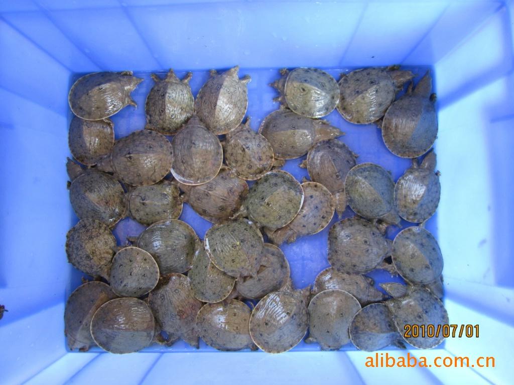 供应广西特色水产品质——仿野生甲鱼黄沙鳖幼苗
