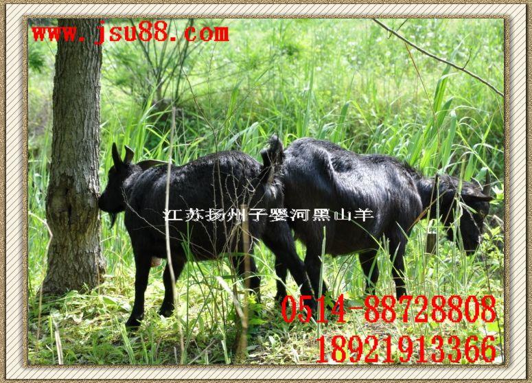 黑山羊肉羊.供应滨海、盐城、东台、海安、南通等、生态养殖