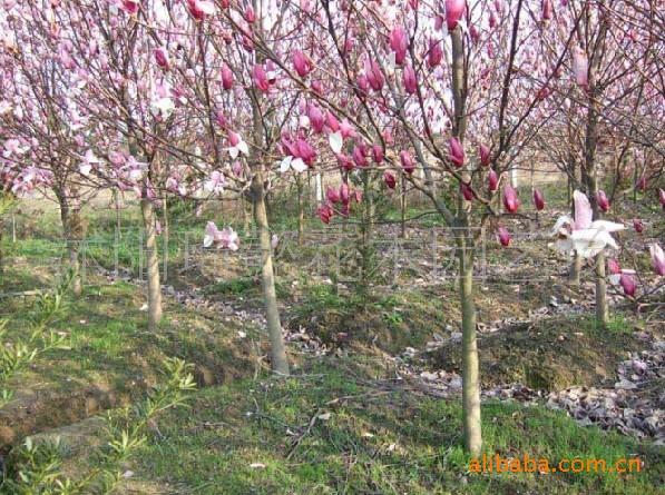 基地直销各种绿化苗木 白·红·紫玉兰