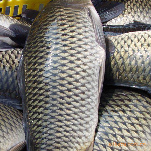 供应 大黄鱼 白鲢鱼 鲤鱼