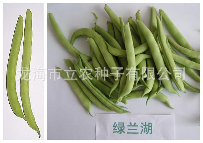 农作物种子 蔬菜种子  四季豆 绿兰湖