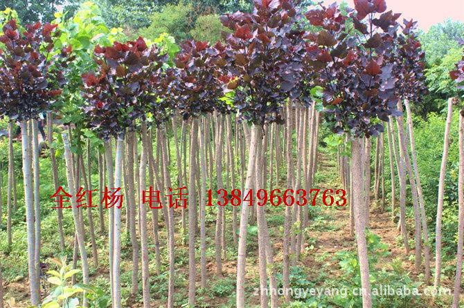 中华全红杨 全红杨 红叶杨 各种绿化苗木