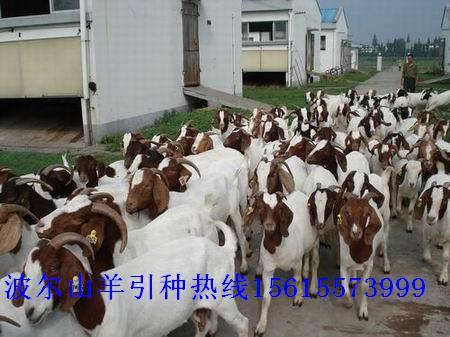 3000只母羊大促销,养殖波尔山羊到天宏牧业肉羊养殖繁育场公羊