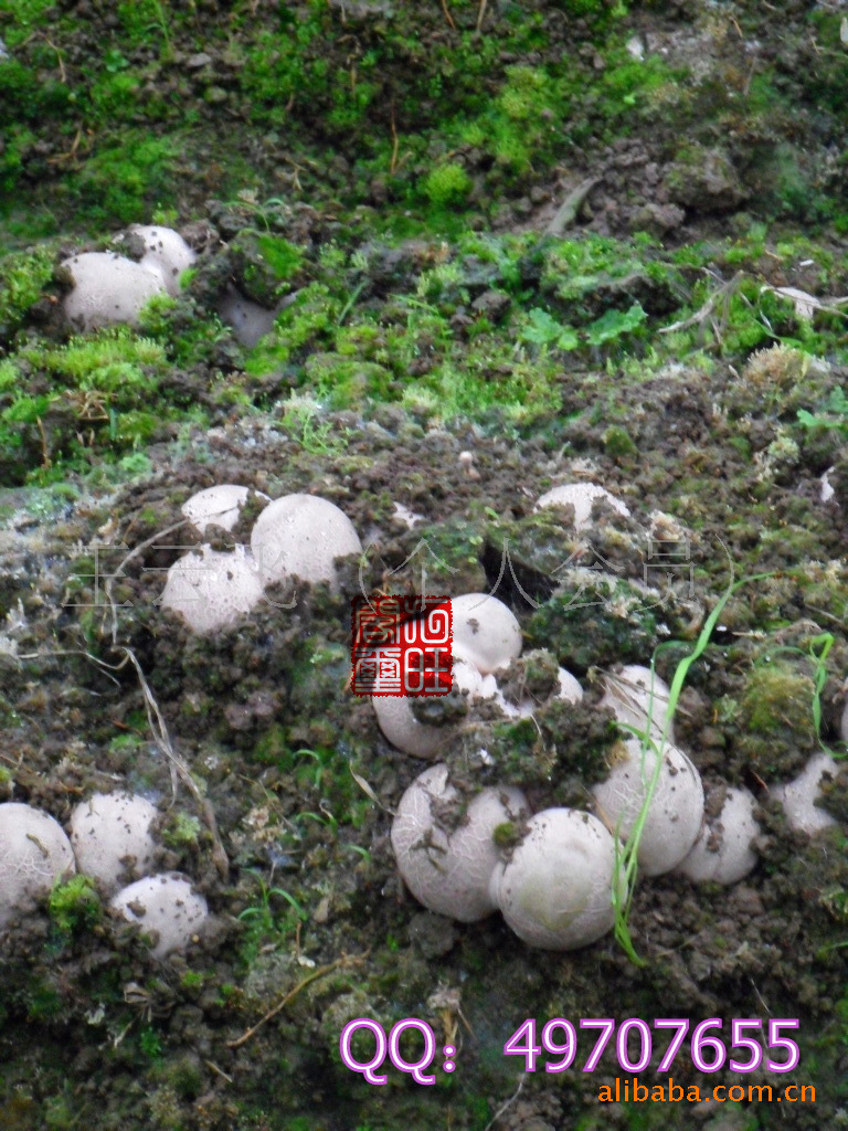 供应蜀南竹海特产 竹荪蛋 新鲜、速冻(图)量大从优