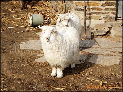 【辽宁盖县地区】供应自家养殖放养山羊、种羊、羊羔