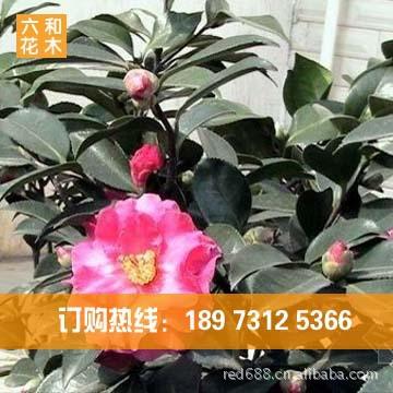 园林绿化苗木 优价供应【茶花】2~20公分 良好观赏花木 苗木基地