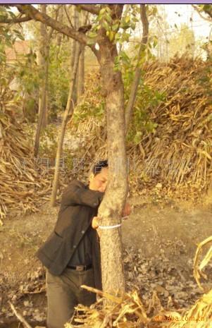 常年供應綠化苗木:苗木,花卉盆景榆樹;三角楓;紅葉李