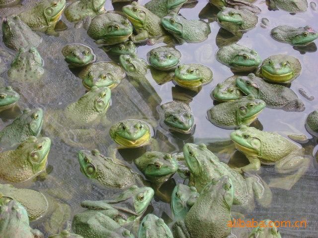 美国青蛙 青蛙供应 大量美国青蛙 小青蛙苗 青蛙 阿里巴巴
