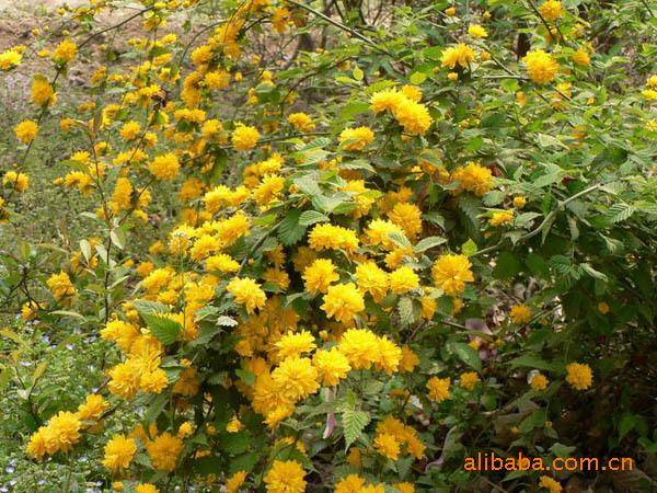 青州宏源祥花卉苗木基地供花灌木,棣棠及其他绿化苗木