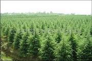供给雪松、白皮松、五针松草坪种子(图)