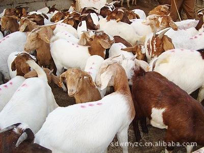 山东文明羊 养殖基地 波尔山羊