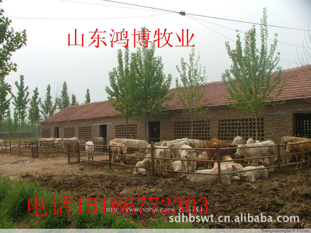 供应肉牛犊肉牛价格肉牛养殖肉牛品种