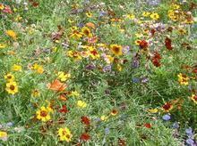 野花组合种子 菊花组合 进口野花组合种子