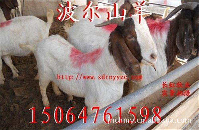 【肉羊品种】波尔山羊-波尔山羊-月增重20斤,出肉率50%