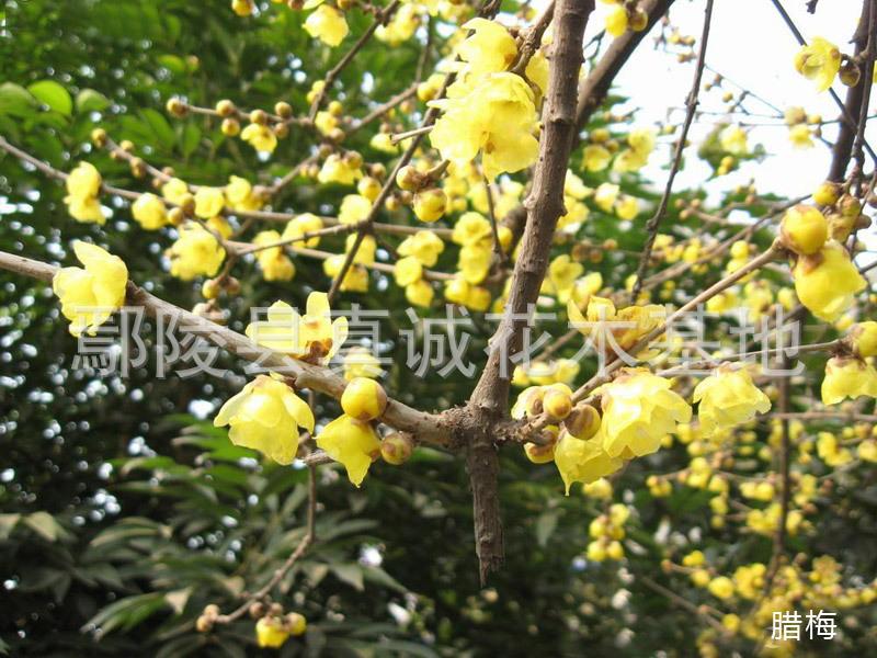 观赏花卉 红梅盆景 腊梅花木苗腊梅树 大量小苗木批发