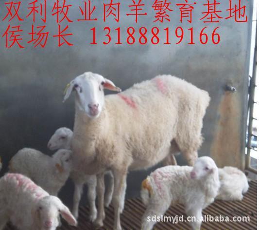 双利牧业小尾寒羊肉羊养殖场 供应纯种小尾寒羊种羊 改良小尾寒羊