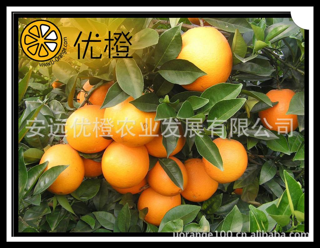 脐橙 赣南脐橙 优良脐橙 佳节果品
