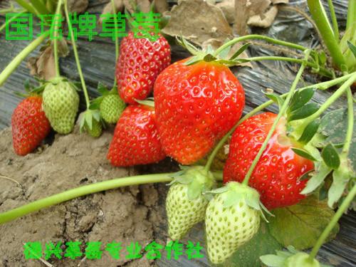 2015年大凉山国珺牌鲜草莓(严格按照GLOBAL GAP标准生产种植)