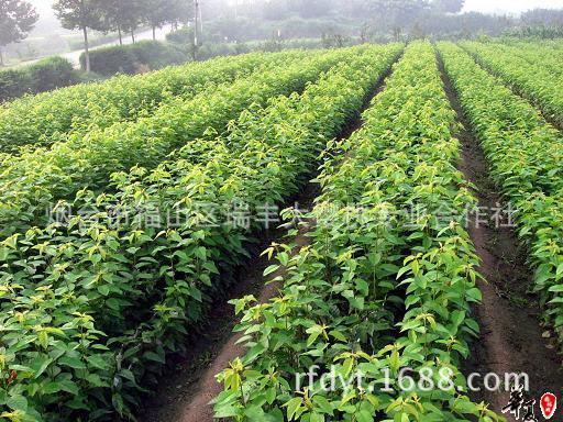 大樱桃树 烟台大樱桃树 供应烟台大樱桃树 图 欢迎订购 阿里巴巴图片