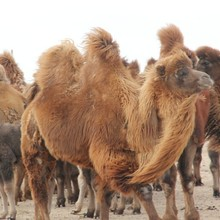 骆驼毛_骆驼毛批发_骆驼毛供应