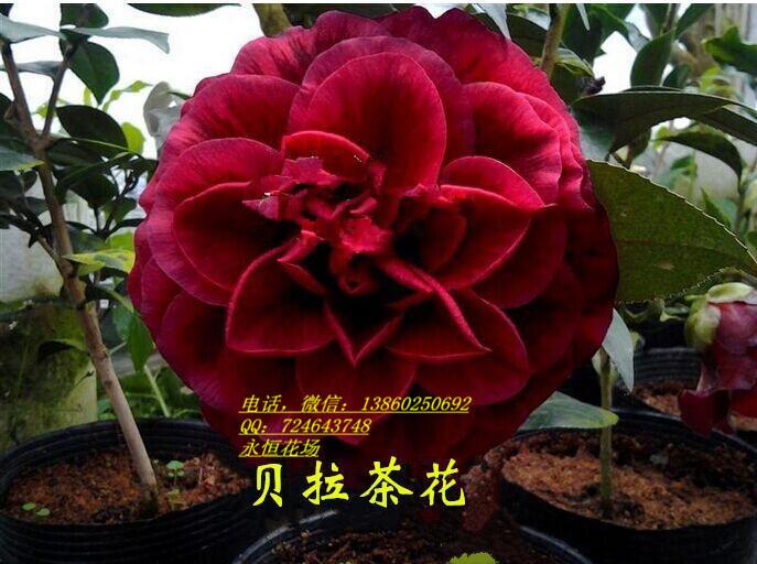 花卉精品 奇异茶花 红叶贝拉茶花 紫叶贝拉 两年年壮苗 15-20cm图片
