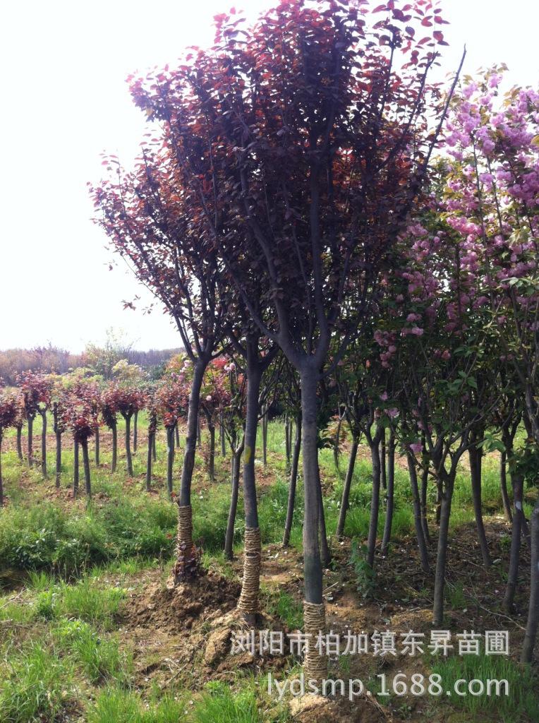 湖南苗圃出售8公分红叶李,紫叶李,红叶碧桃,碧桃.图片