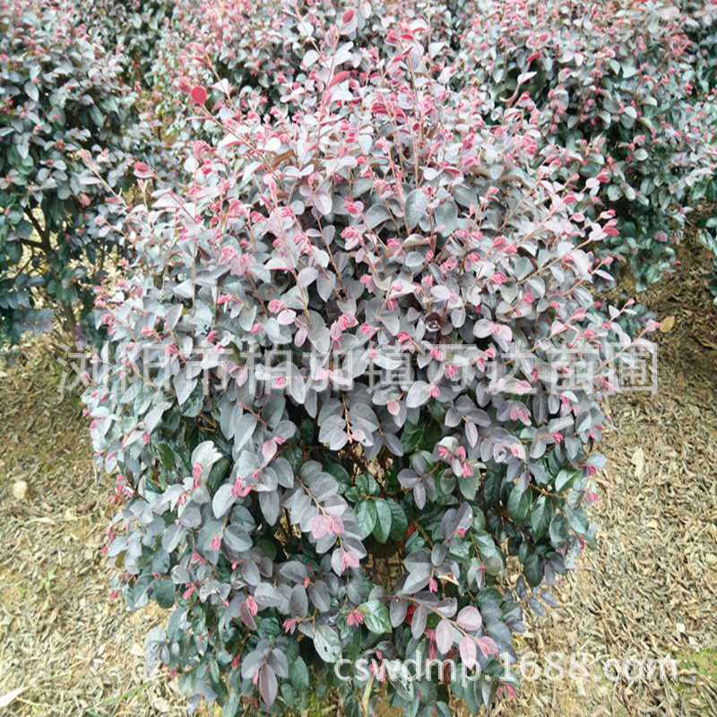 红花继木培育基地出售冠 45 50 55 60公分大的红花继木精品球毛球