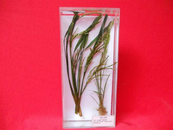 植物标本 植物保色浸制标本 中草药植物保色浸制标本