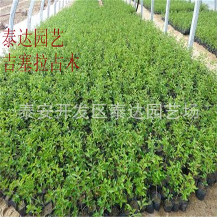 吉塞拉6号占木樱桃树苗多少钱一棵 果树尽在阿里巴巴 泰安开发区图片