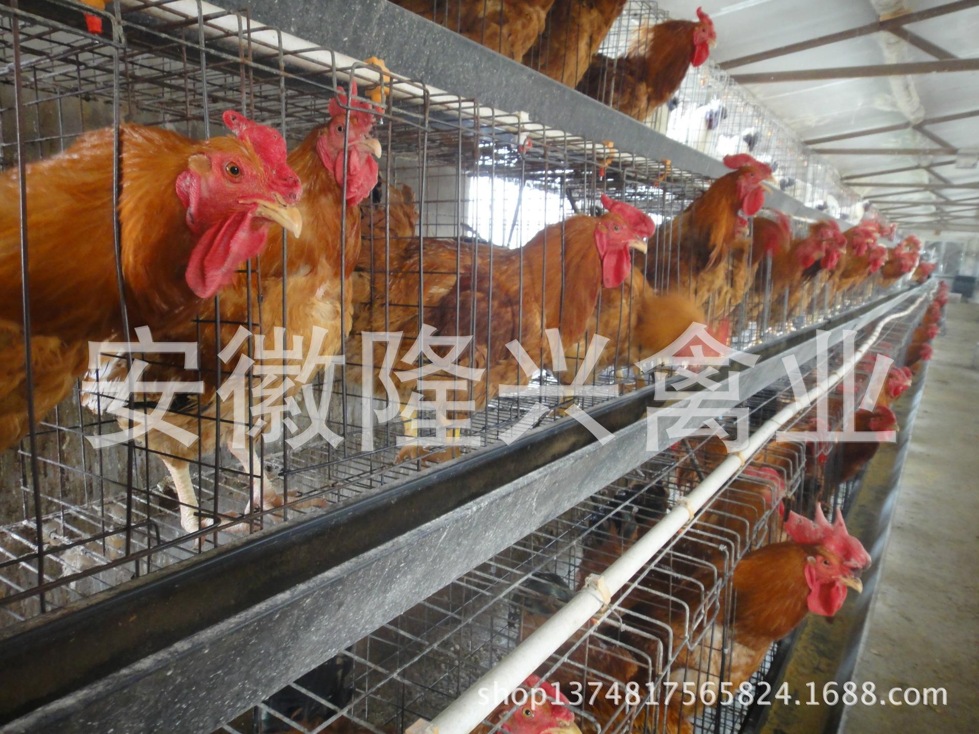 南王太和鸡苗可分公母苗 动物种苗尽在图片