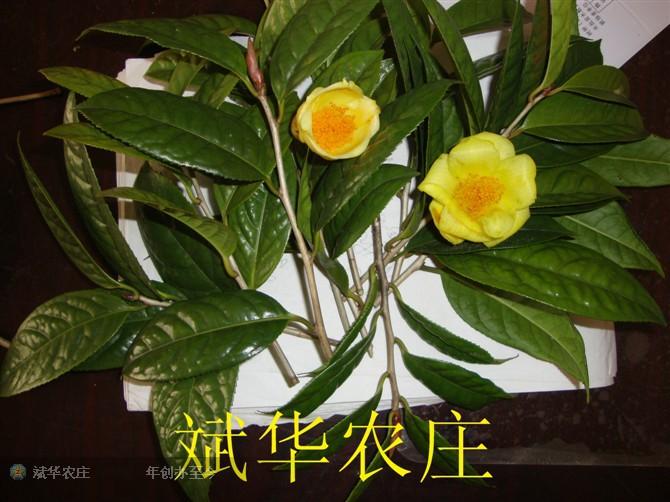 金花茶嫁接接穗 金茶花枝条 防城港普通种毛瓣崇左四季凹脉黄茎金花