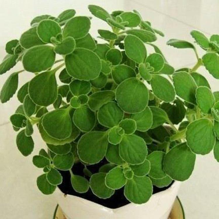 肉植物 碰碰香盆栽 绿植 办公室绿植 阿里巴巴
