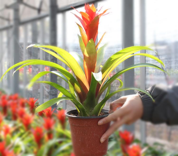 盆景凤梨花 植物盆栽盆景红星高照 奥卡斯塔拉 净化空气植物 阿里巴巴