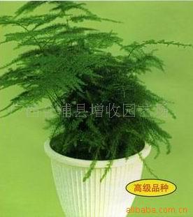 供给还珠牌文竹种子