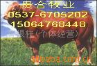 供应肉牛 牛羊养殖 ,牛羊养殖场,养牛技术,纯种牛羊