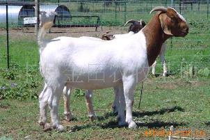 波尔山羊养殖技术 波尔山羊价格